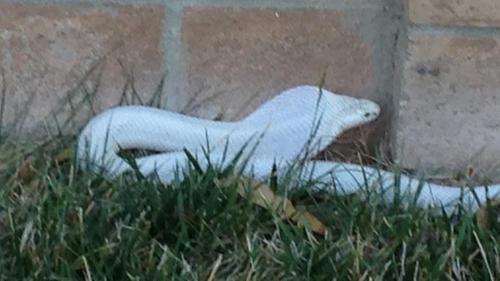 Cobra suelta en Thousand Oaks, California