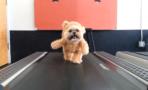 shih tau teddy bear